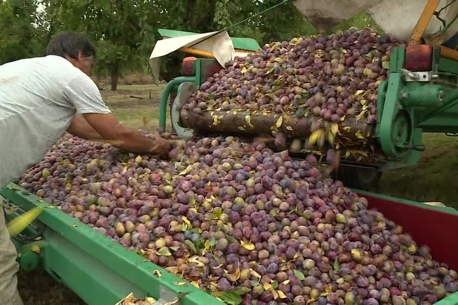 Lot-et-Garonne : la récolte des prunes a commencé, avec trois semaines d'avance